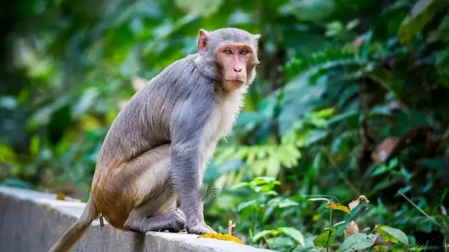 macaque ape.jpeg
